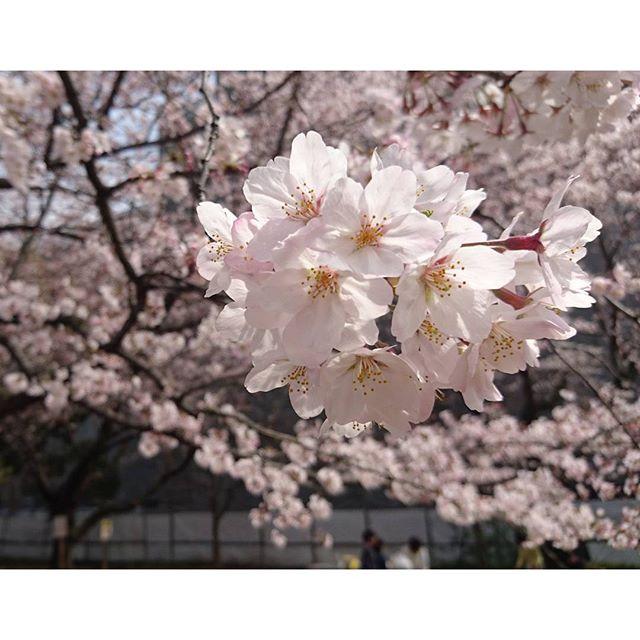 #お花見 ですにゃ!お昼休みに近くの公園でね。去年も来て同じ所で同じもの食べたにゃ!何年続くかな
