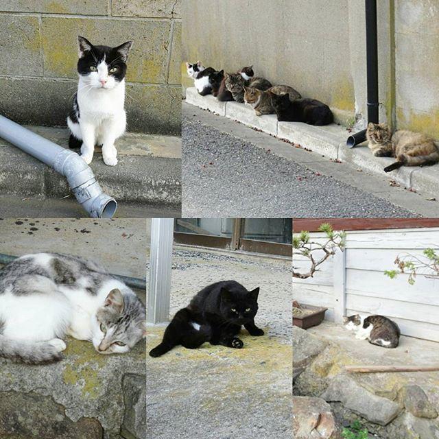 宮城県の猫島へ行ってみた!夕方になると冷たい風が吹いてだらっと寝ていた猫達が丸型のフォームになります。 そろそろ海浜館で晩御飯だから帰りますよ。 #侍猫さんぽ #猫島