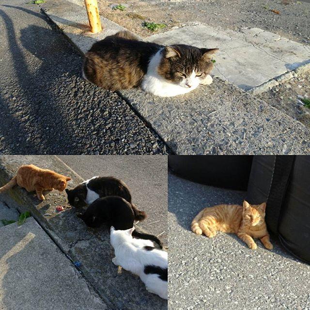 宮城県の猫島へ行ってみた! なんか猫島は全体的に黒猫が多い気がする。カラスから生き延びやすい色なのかもね。茶虎猫なかなか見ないもんね #侍猫さんぽ #猫島