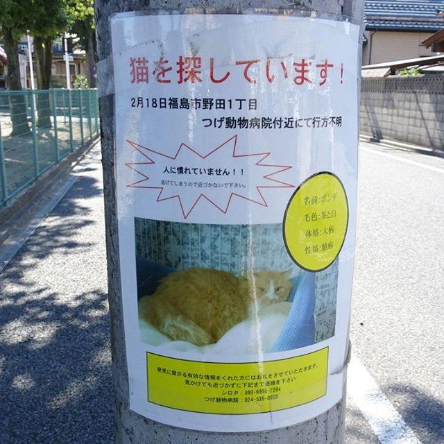福島駅周辺の散歩 #猫を探してます ポンチを見つけたら連絡してあげてね! #侍猫さんぽ