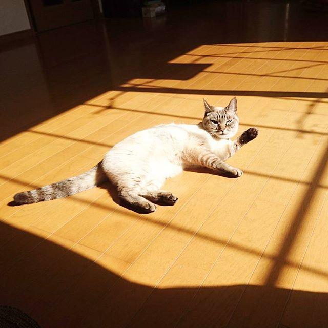 日向でゴロゴロしてたいにゃぁ… #猫 #cat