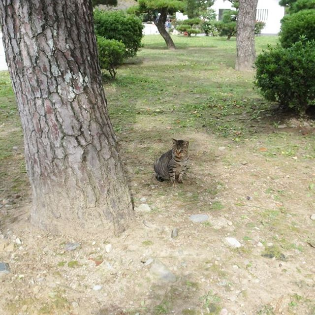 侍猫さんの夏休み #012 姫路城が猫城って噂は本当だった!入り口付近に猫が沢山いるよ!#姫路駅 #姫路 #japan #trip #travel #姫路城 #猫 #ねこ #猫城 #castle #cat