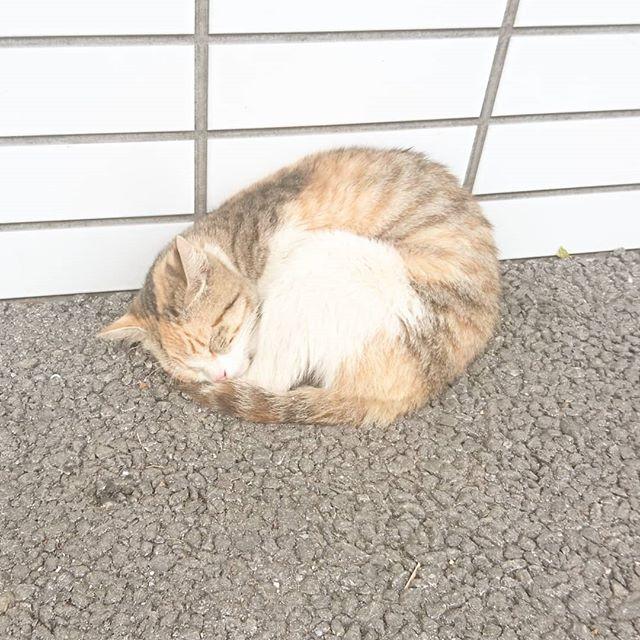 #美ら海水族館 の近くの #ローソン にいた #猫 だね。全然起きない猫でした。